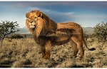 Wild Kingdom - Lion - Panel - Digital